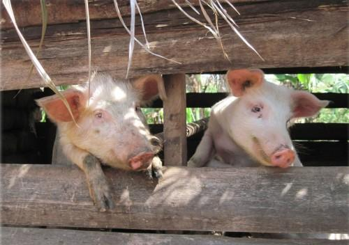 The Sale of Pork meat has been temporarily banned in the West Region!