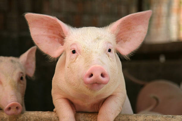West Region: Ban placed on circulation of pigs lifted